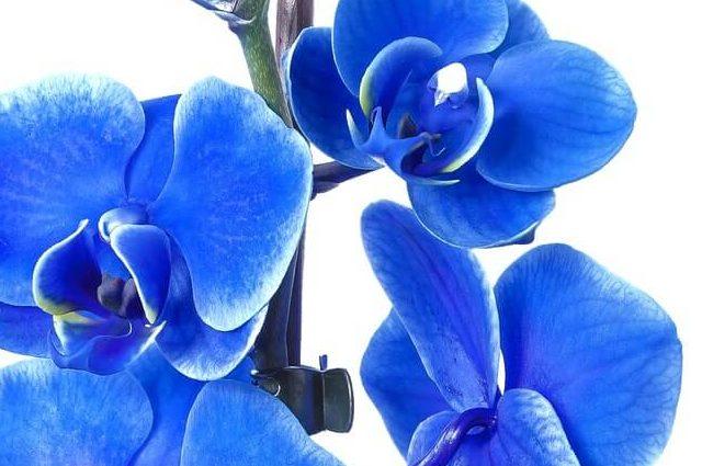 胡蝶蘭ブルー