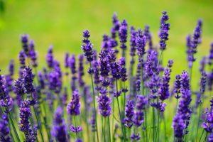 香り強い花ラベンダー