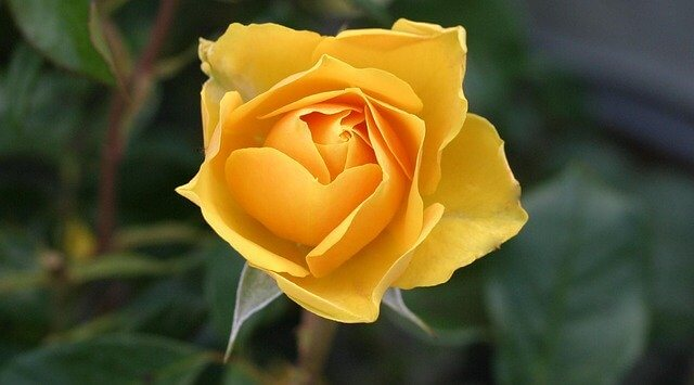 花言葉バラ