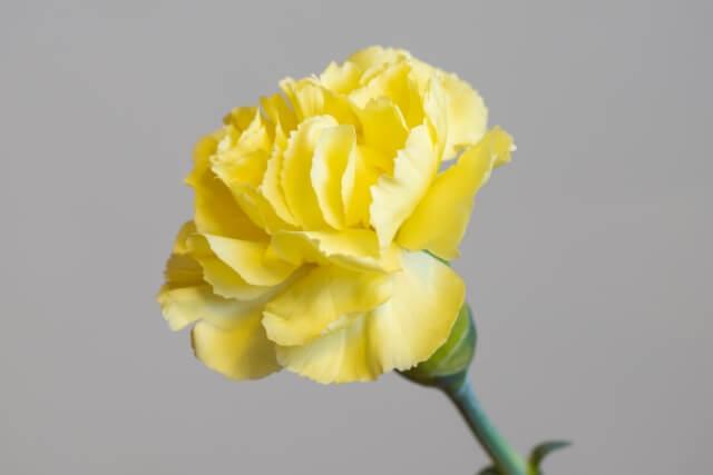 花言葉カーネーション黄色