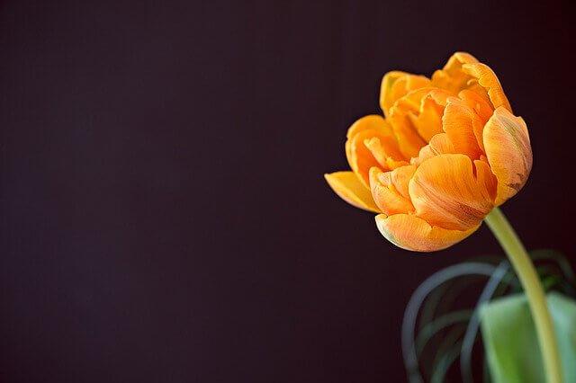 チューリップオレンジ